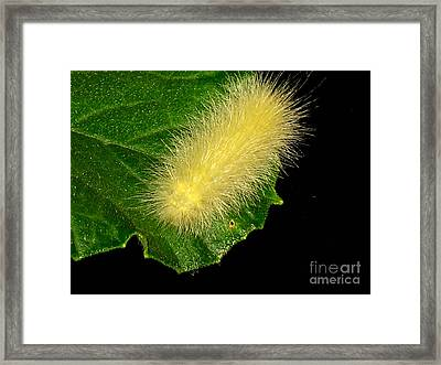 Fuzzy Wuzzy Framed Print by Gigi Kobel