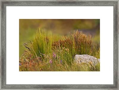 Fynbos Reeds Framed Print by Basie Van Zyl