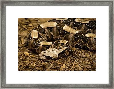 Gaboon Viper Resting 2 Framed Print