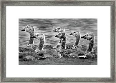 Gaggle Of Goslings Framed Print