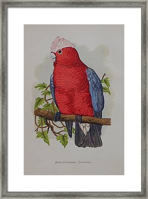 Galah Cockatoo - 1884 Framed Print by Greene's Parrots