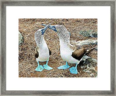 Galapagos Blue-footed Boobies Dance Framed Print