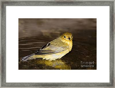 Galapagos Mangrove Warbler Framed Print by Dave Fleetham - Printscapes