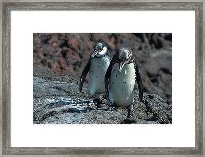 Galapagos Penguins  Bartelome Island Galapagos Islands Framed Print