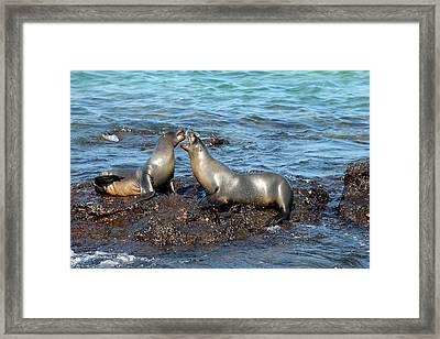 Galapagos Sea Lion Framed Print by Alan Lenk