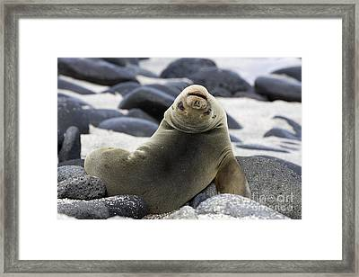 Galapagos Sea Lion Framed Print by David Hosking and Photo Researchers