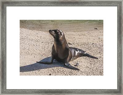 Galapagos Sea Lion Framed Print