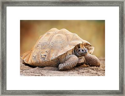 Galapagos Tortoise Side View Framed Print