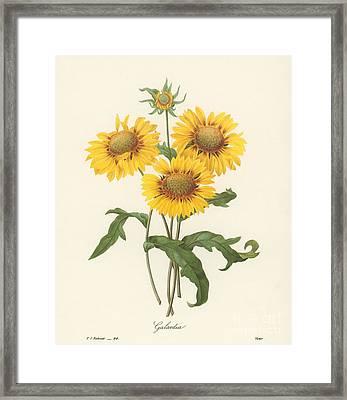 Galardia Framed Print by Granger