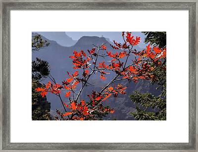 Gamble Oak In Crimson Fall Splendor Framed Print