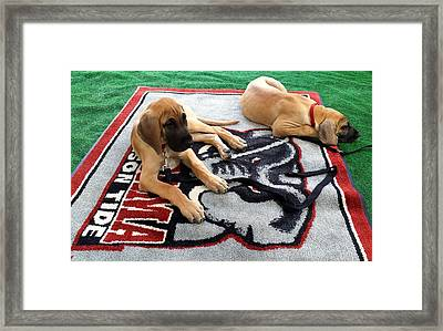 Gameday Great Dane Puppies Framed Print
