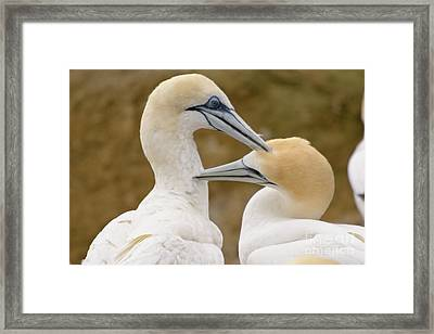 Framed Print featuring the photograph Gannet Pair 1 by Werner Padarin