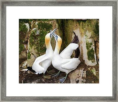 Gannet Passion Framed Print by Tracy Munson