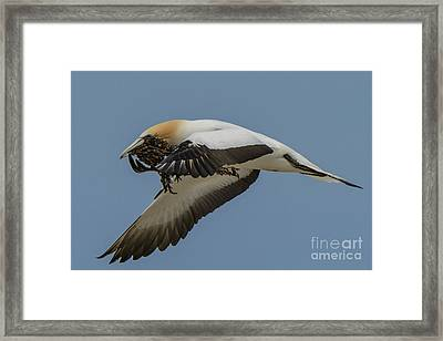 Framed Print featuring the photograph Gannets 1 by Werner Padarin