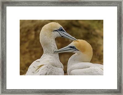 Gannets 4 Framed Print by Werner Padarin