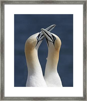 Gannets In Love Framed Print by Mircea Costina Photography