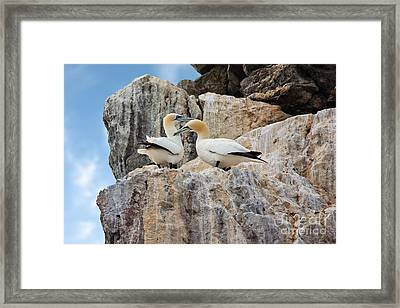 Gannets On Cliffs Framed Print