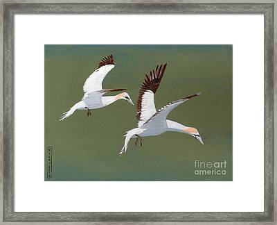 Gannets - Painting Framed Print by Veronica Rickard
