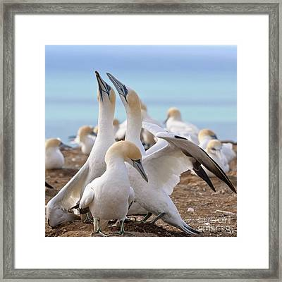 Framed Print featuring the photograph Gannets by Werner Padarin
