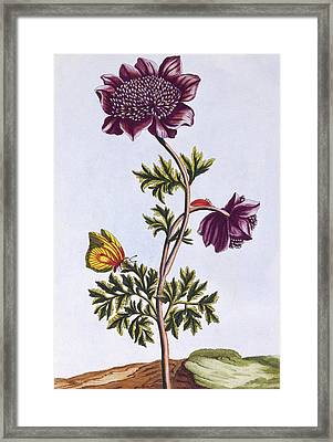 Garden Anenome  Windflower Framed Print
