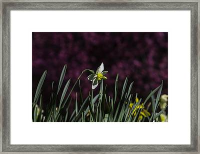 Garden Daffodil Framed Print by Garry Gay