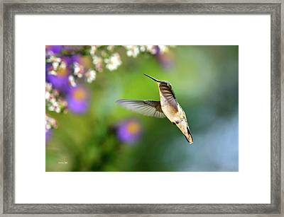Garden Hummingbird Framed Print by Christina Rollo