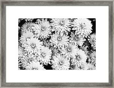 Garden Mums Framed Print by Ryan Kelly