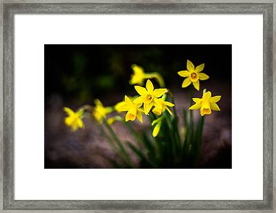Garden Of Daffodils Framed Print by Shelby Young