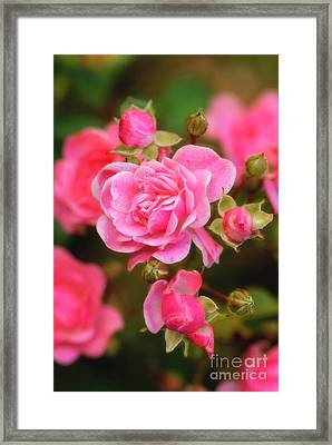 Framed Print featuring the photograph Garden Rose by Alana Ranney