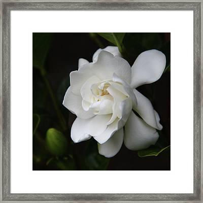 Gardenia - II Framed Print