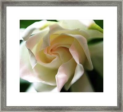 Gardenia With A Touch Of Pink Framed Print