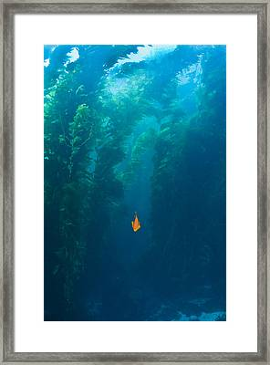 Garibaldi Fish In Giant Kelp Underwater Framed Print by James Forte