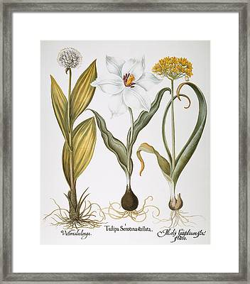 Garlic, 1613 Framed Print by Granger