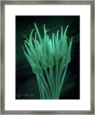 Garlic Scapes 01 Framed Print by Wally Hampton
