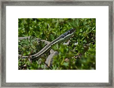Garter Snake Framed Print by Douglas Barnett