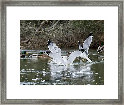 Gathering Of Egrets Framed Print by George Randy Bass