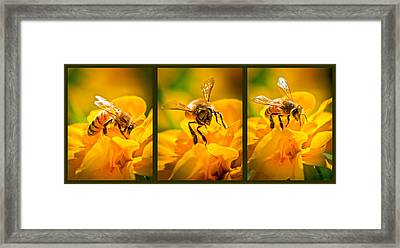 Gathering Pollen Triptych Framed Print by Bob Orsillo