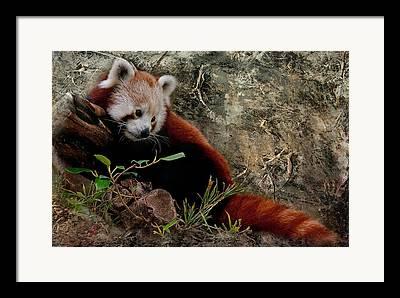 Perth Zoo Framed Prints