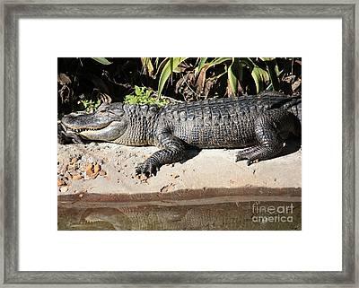 Gator Framed Print by Carol Groenen