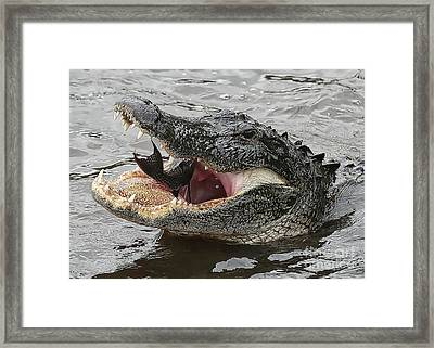 Gator Eating Fish Framed Print