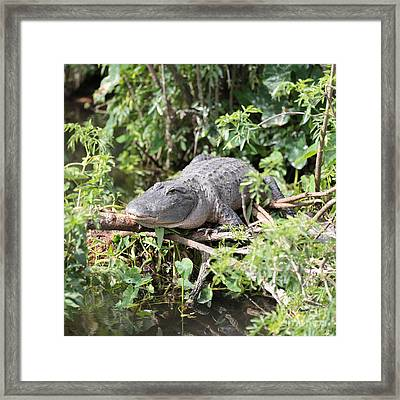 Gator In Green Framed Print