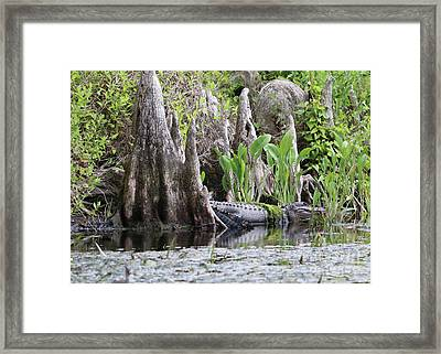 Gator In The Cypress Knees Framed Print