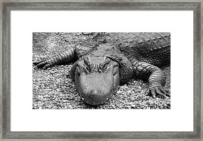 Gator Rocks Framed Print by Jason Freedman
