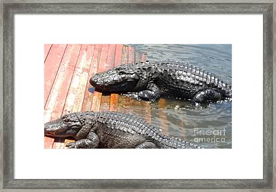 Gator Land Alligators Framed Print by Robert Torres