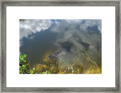 Gator Lurking Framed Print
