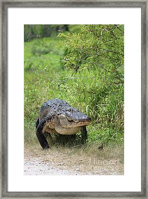 Gator On The Move Framed Print