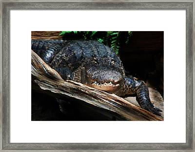 Framed Print featuring the photograph Gator Resting by Kathleen Stephens
