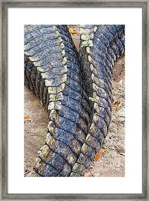 Gator Tails Framed Print by Stephanie Hayes