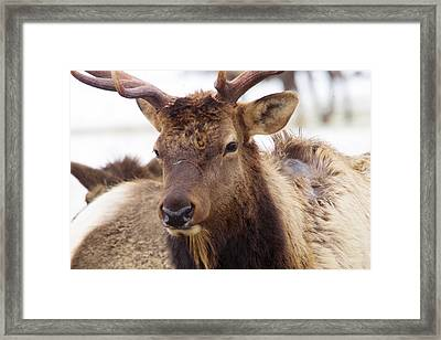 Framed Print featuring the photograph Gaze From A Bull Elk by Jeff Swan