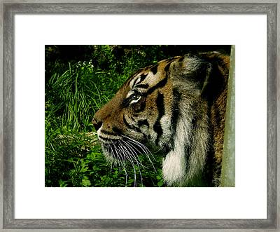 Gaze Of The Tiger Framed Print by Edan Chapman